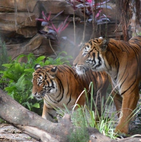 Lisa Walker photo of Berapi and Mata in Tiger River Palm Beach Zoo tiger attack