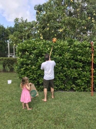 Mango picking in Florida
